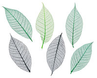 Mulberry leaves skeletons Royalty Free Stock Photography