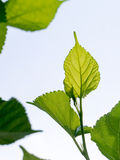 Mulberry leaves in sunlight Stock Photo