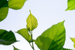 Mulberry leaves in sunlight Stock Photos