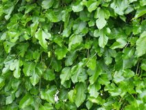 Mulberry leaves tree. Many green leaves of mulberry tree under the spring sunshine royalty free stock images