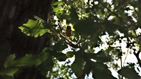 Mulberry leaves on tree in sunshine. Mulberry leaves on tree blowing in breeze back lit with sunshine stock video