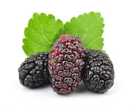 Mulberry with leaves Stock Images