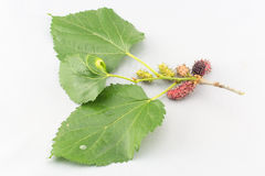 Mulberry. (Morus alba Linn),  (Moraceae Stock Photo