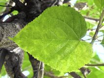 Mulberry or Morus Leaf on The Tree. Fresh Big Mulberry Leaf or Morus on Tree Used to Make Tea and Ingredient for A Delicious and Healthy Meal royalty free stock photos