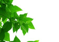 Mulberry or Morus Leaves on White Background Royalty Free Stock Image