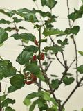 Mulberry or Morus tree produce the fruits. stock images