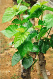 Mulberry new leaves Royalty Free Stock Images