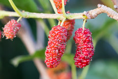 Mulberry On Tree Is Berry Fruit In Nature Royalty Free Stock Images