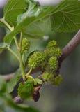 Mulberry Stock Photos