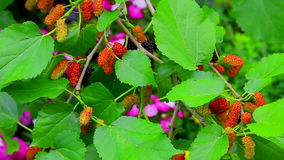 Mulberry plant with berries stock footage