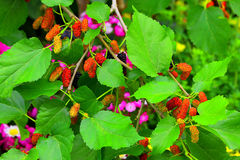 Mulberry plant with berries Royalty Free Stock Photography