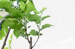 Mulberry plant Stock Images