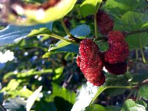Mulberry red rip. Royalty Free Stock Photography