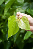 Mulberry silk Stock Photography