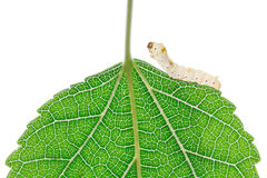 Mulberry silkworm Royalty Free Stock Photography