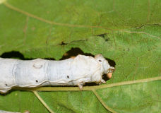 Mulberry silkworm Royalty Free Stock Image
