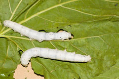 Mulberry silkworm Royalty Free Stock Photo