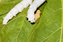 Mulberry silkworm Stock Photo