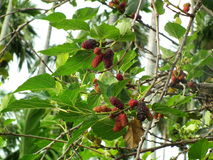 Mulberry .Thai fruit . plants are herbs Royalty Free Stock Image