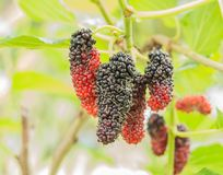 Mulberry Thai on a tree. Mulberry fresh Thai on a tree royalty free stock images