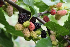 Mulberry tree. Nature in summer. Mulberry tree and fruits stock photo