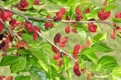 Free Mulberry Tree Stock Photos - 24484213
