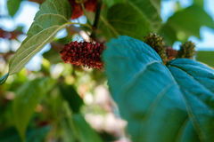 Mulberry tree. Mulberry on a mulberry tree Royalty Free Stock Photography