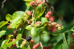 Mulberry tree with berries. Mulberry tree brach with green leaf and berries stock image