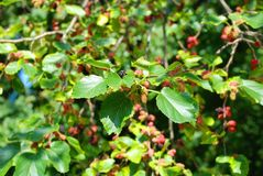 Mulberry tree with berries. Mulberry tree brach with green leaf and berries royalty free stock photos