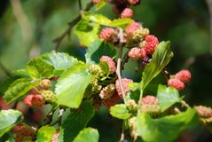 Mulberry tree with berries. Mulberry tree brach with green leaf and berries stock images