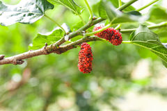 Mulberry on tree. Mulberry on tree with blur background stock photo
