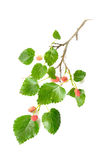 Mulberry Tree Branch with Fruits. A Mulberry tree branch with green leaves and red fruits on white background stock photo