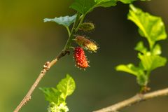 Mulberry on the tree is a natural food plant. Mulberry on the tree Can eat Make fruit juice to eliminate free radicals royalty free stock photo