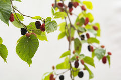 Mulberry Tree. Close up image royalty free stock photography