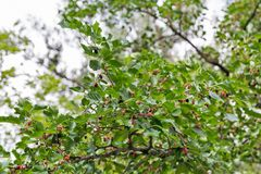 Mulberry tree closeup. In summer royalty free stock images