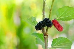 Mulberry tree Royalty Free Stock Photos