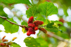 Mulberry on the tree. At garden royalty free stock image