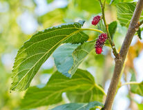 Mulberry Tree. Royalty Free Stock Photography