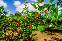 Mulberry on tree in graden Stock Images