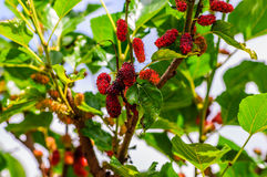 Mulberry on tree in graden Stock Image