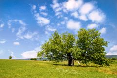 Mulberry tree in green field. Old mulberry tree in sunny day and beutifull clouds in green field stock images