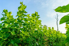 Mulberry tree. Growing mulberry tree at field Royalty Free Stock Photo