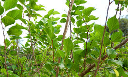 Mulberry tree. Growing mulberry tree at field stock photo