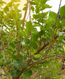Mulberry tree. Growing mulberry tree at field royalty free stock images