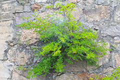Mulberry tree grows in old stone wall Royalty Free Stock Photo
