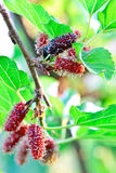 Mulberry on tree in the organic farm Stock Image