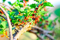 Mulberry on tree in the organic farm Royalty Free Stock Photo