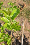 Mulberry tree. Mulberry planted in the garden Stock Photo