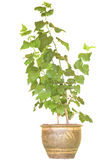 Mulberry tree in pot isolated on white background. Royalty Free Stock Photography