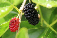 Mulberry Tree. Red and black mulberries with green leaves on mulberry tree stock photos